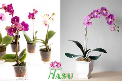 ¡Sorpréndela Con estas Hermosas Orquídeas! Paga RD$650 en vez de RD$1,200 por Planta de orquídea varios colores a elegir en Flores Hasu.